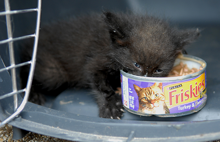 Little black kitten eating directly from a can of cat food