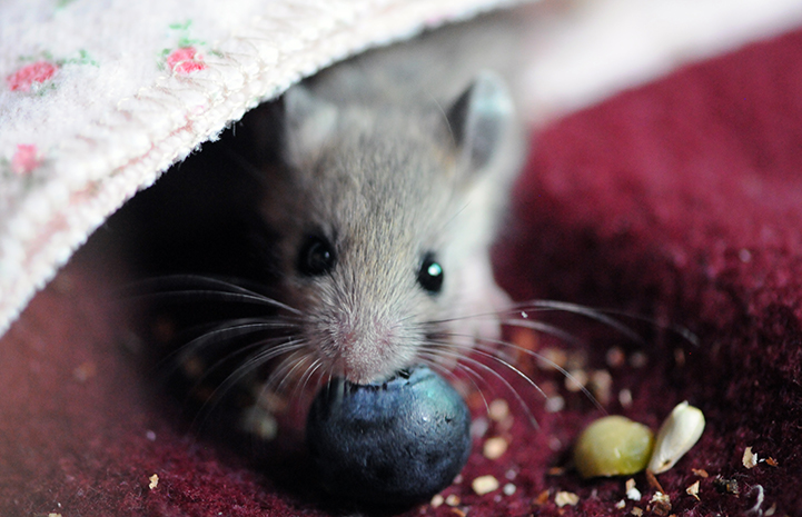 Mouse eating a blueberry