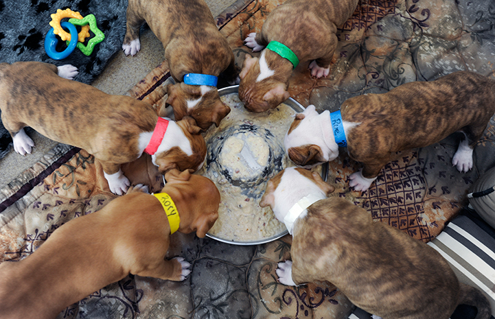 Litter of puppies eating from a big round bowl