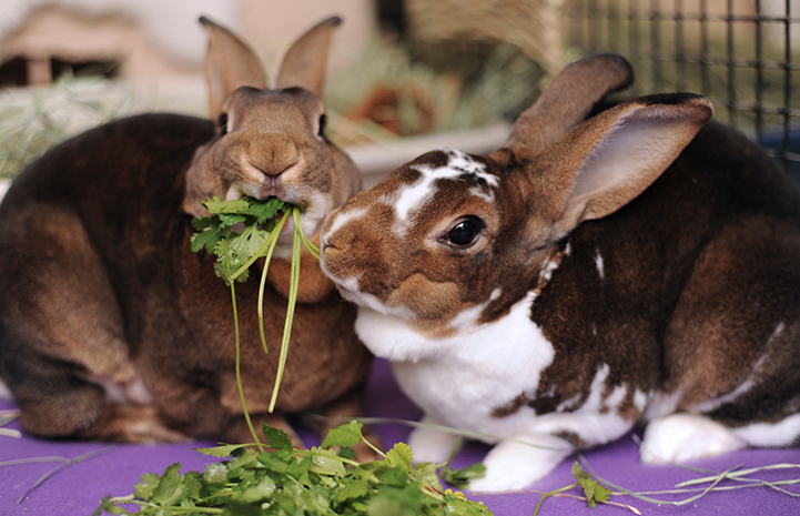 Pair of rabbits eating some cilantro