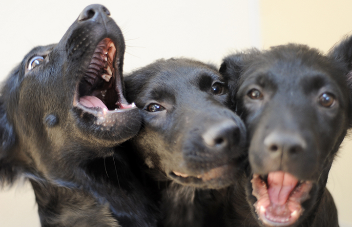 Three black puppies