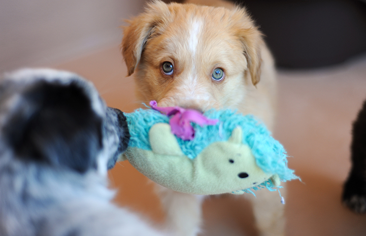 Cute puppy holding a toy