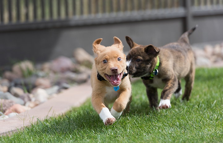 Two puppies running in the backyard