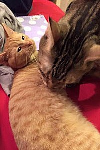 Pooh Bear the kitten with a neurological disorder now has a big brother, another cat
