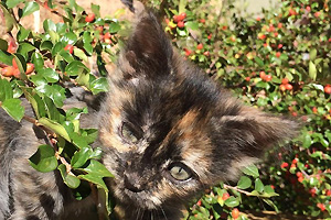 Skeeter the tortoiseshell kitten