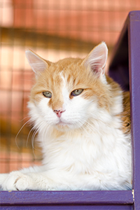 Relaxed character. Fluffy yellow and white Carmine is a wonderful senior cat.