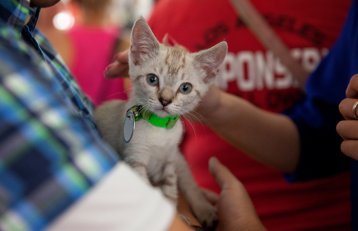 A kitten being held at the NKLA Super Adoption