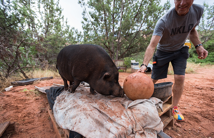 Kennedy the potbellied pig learning to push a bowling ball through clicker training