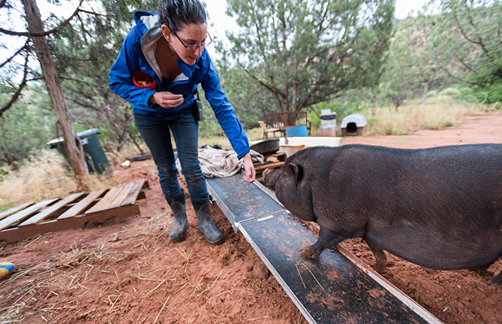 Rosalie giving Kennedy the potbellied pig learning clicker training