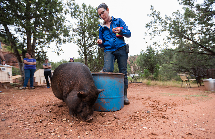 Kennedy the potbellied pig getting clicker training from Rosalie