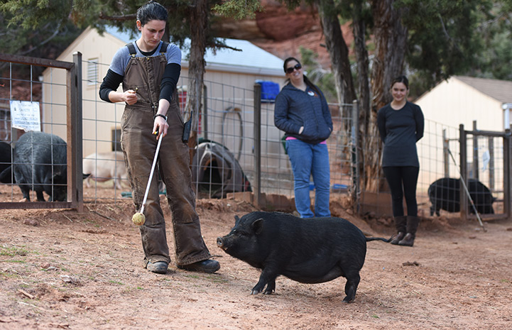 Teaching pigs a trick like targeting has many benefits