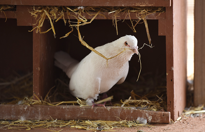 Shannon the pigeon showing his nest-building skills