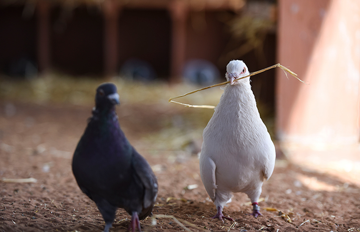 Shannon the pigeon showing another pigeon a piece of hay