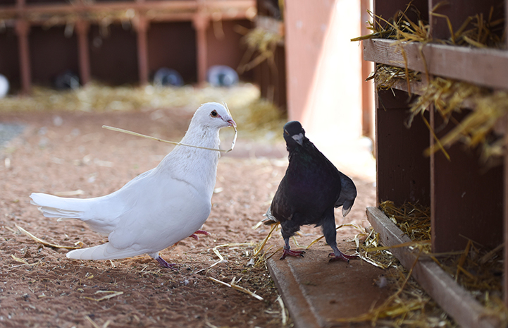 The other pigeon is not impressed with Shannon's piece of hay
