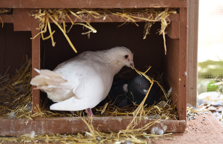 Shannon the pigeon still tries to use his hay to woo his female