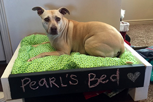 Pearl the pit bull terrier who has the babesia blood parasite in her very own bed