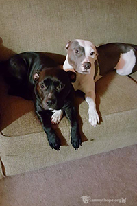 Sammy's Hope helped Buttercup the pit bull terrier mix