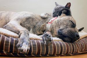 Pit bull terrier snuggling with a kitty