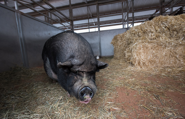 Teddy the potbellied pig wasn't into snuggling with anyone, so got his own winter housing