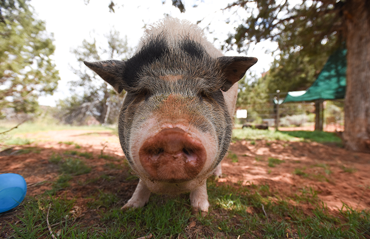 Molly the potbellied pig, looking directly at the camera, is feeling a lot better