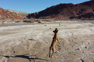 Puma the pit bull terrier mix's fun with a tennis ball at the Paria River