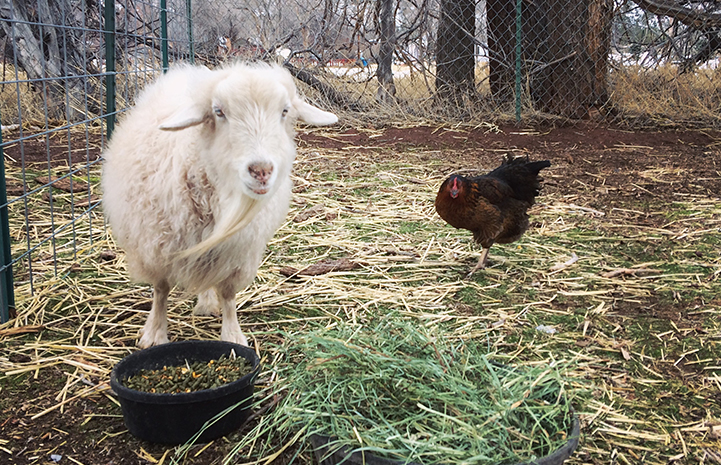 Dolly the pygmy Angora goat with a resident chicken