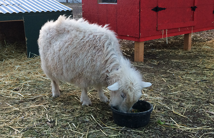 Despite being a picky eater, Dolly the pygmy Angora goat is eating like a champ at her new home