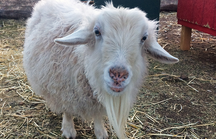Dolly the pygmy Angora goat at her new home