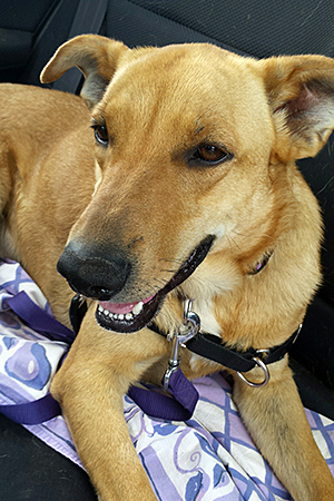 Volunteer Dee Willner takes Barnaby the Labrador mix on weekly outings