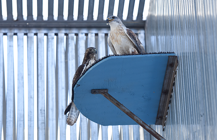 Ferruginous and red-tailed hawks undergoing rehabilitation at Wild Friends