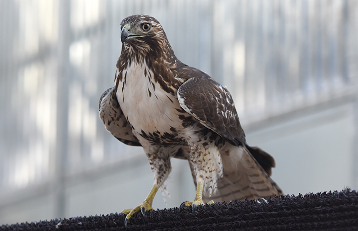 Red-tailed Ferruginous Hawk undergoing rehabilitation at Wild Friends