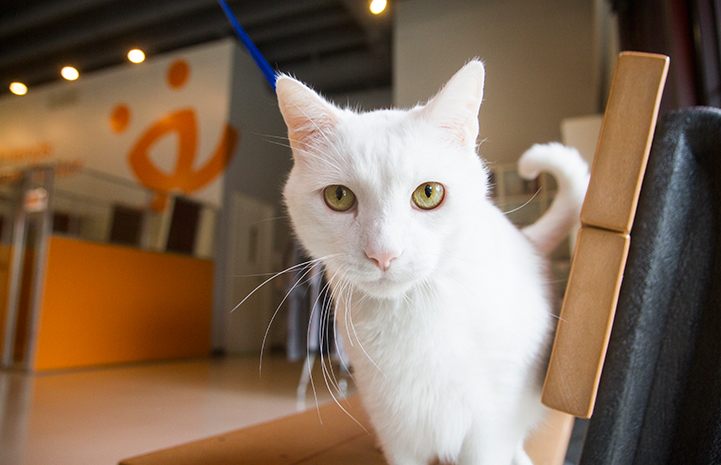 Archer the cat at the Best Friends Pet Adoption Center in Salt Lake City