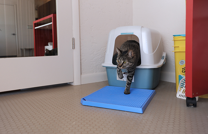 Brady the cat exiting a litter box