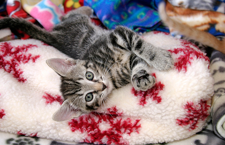 Kitten snuggling on a fleece blanket