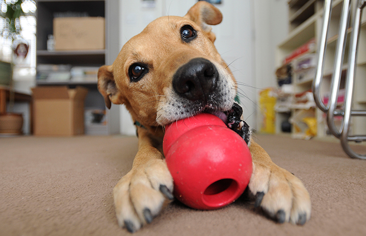 Ogy the dog chewing on a Kong