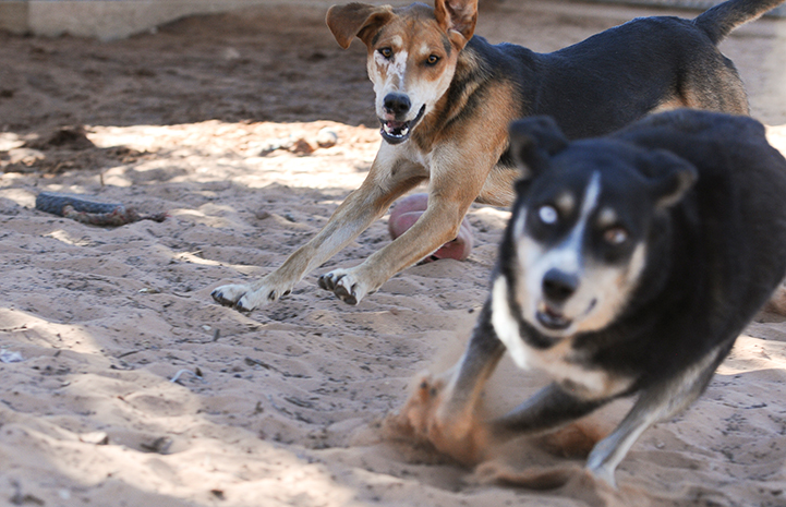 Animal pictures of summer fun: dogs playing tag
