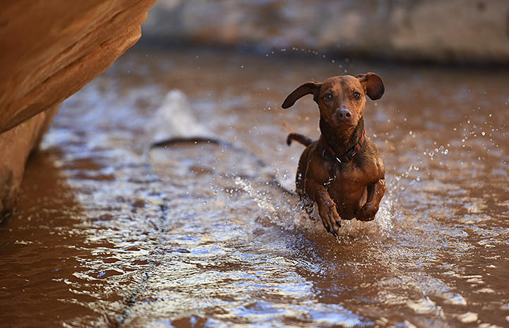 Animal pictures of summer fun: Dachshund running in a creek