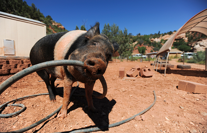Animal pictures of summer fun: pig holding a hose