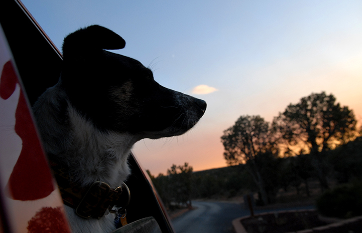 Animal pictures of summer fun: dog riding a car with the sun setting
