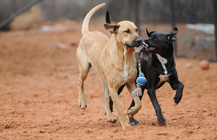 Animal pictures of summer fun: two dogs sharing a toy