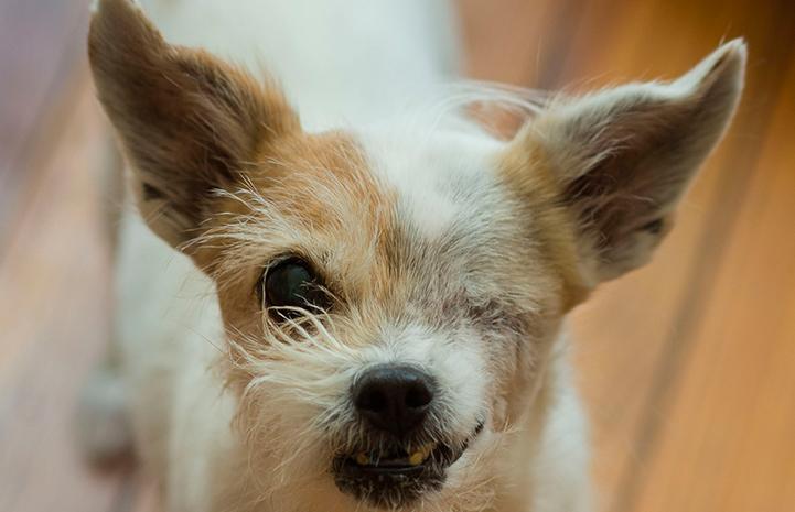 Rainbow the one-eyed senior terrier mix dog
