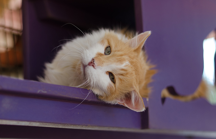 Carmine the orange and white senior cat is available for adoption