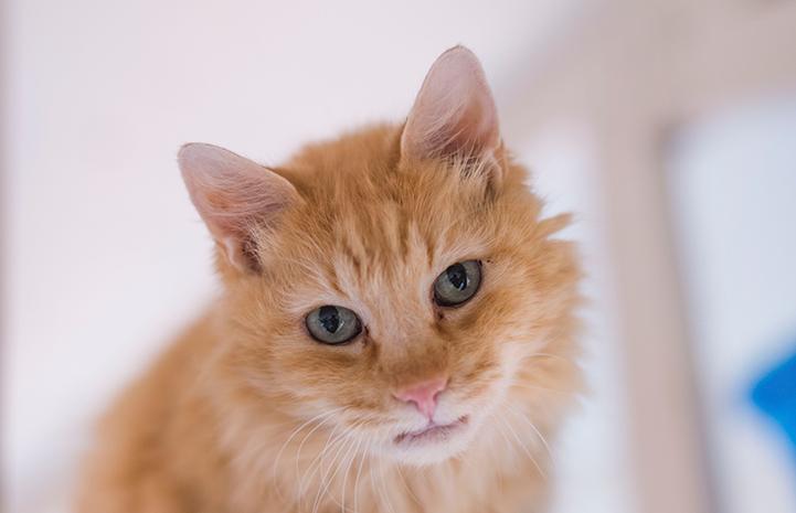 Cinna the orange senior cat is available for adoption