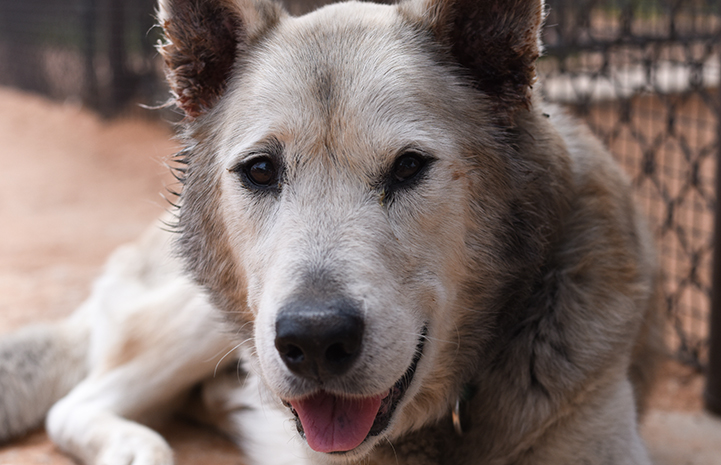 Dante the senior dog is available for adoption