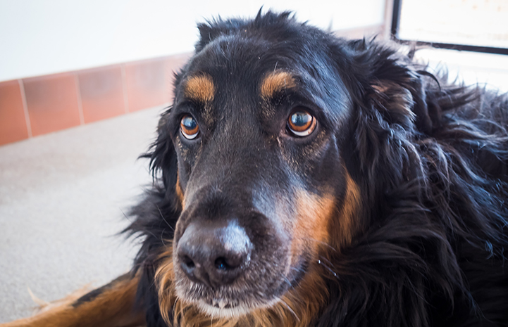 Frido the black and brown senior dog is available for adoption