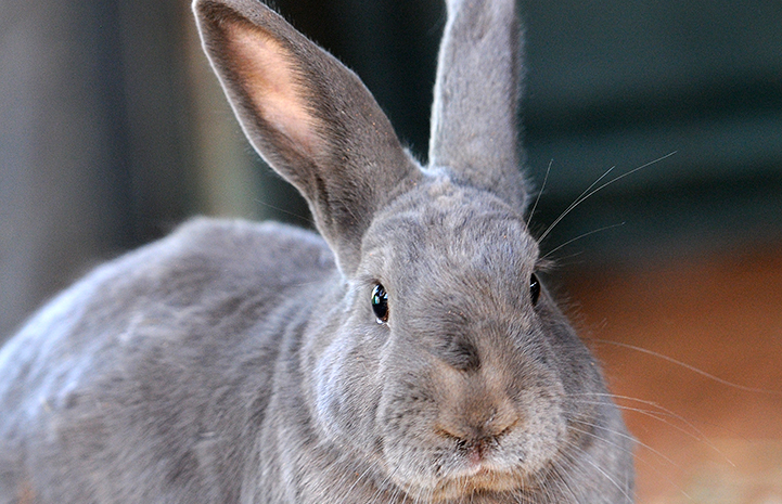 Jerry the gray bunny is available for adoption