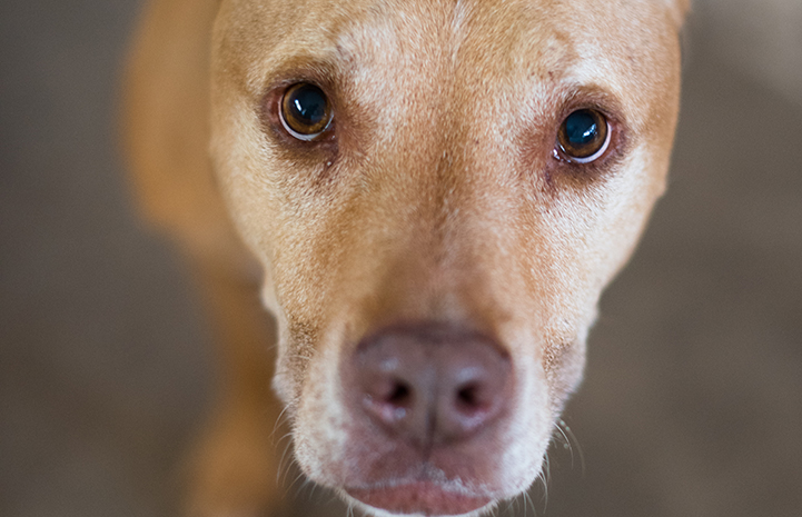 Keegan the tan senior dog is available for adoption