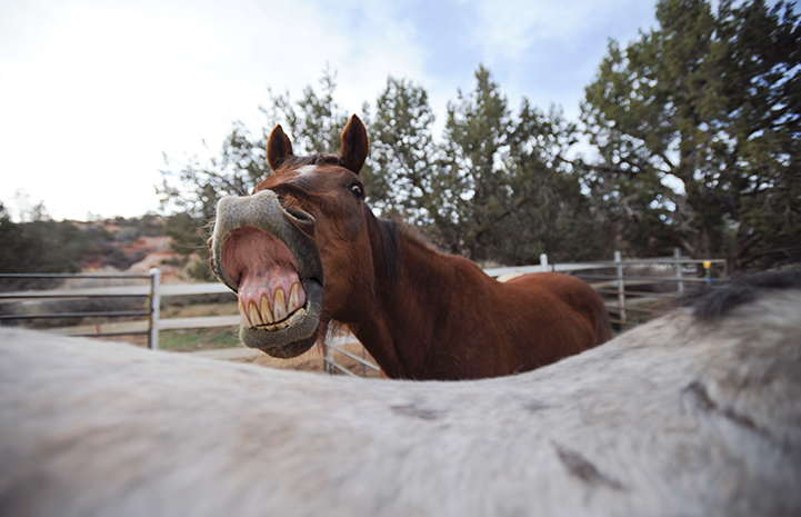 Roy the brown senior horse is available for adoption