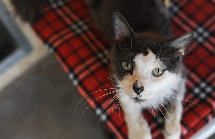 Shenandoah the senior cat is available for adoption
