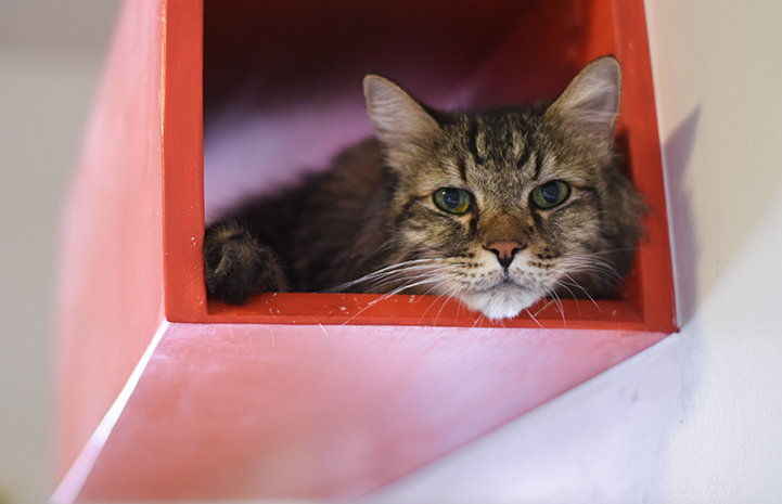 Socrates the senior tabby cat is available for adoption